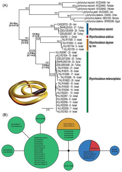Phylogenetic relationships within Rhynchocalamus.
