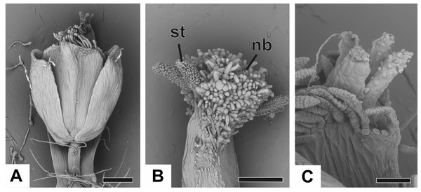 Anthesis of pistillate flowers of dimerous species of Paepalanthus (SEM).