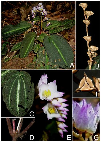 Bertolonia duasbocaensis.