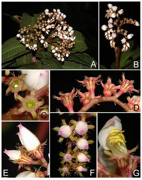 Bertolonia macrocalyx.