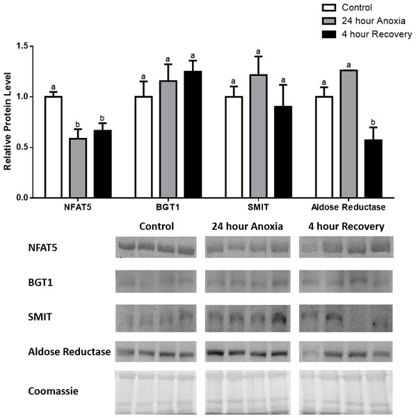 Changes in NFAT5, BGT-1, SMIT, and aldose reductase total protein levels in liver during anoxia-recovery stress in R. sylvatica.