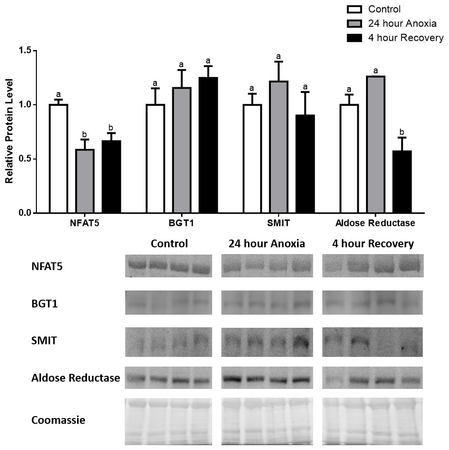 How To Test For Protein >> Osmolyte regulation by TonEBP/NFAT5 during anoxia-recovery and dehydration–rehydration stresses ...