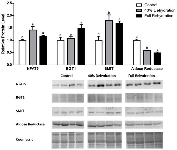 Changes in NFAT5, BGT-1, SMIT, and aldose reductase total protein levels in muscle during dehydration–rehydration stress in R. sylvatica.