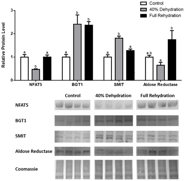 Changes in NFAT5, BGT-1, SMIT, and aldose reductase total protein levels in liver during dehydration–rehydration stress in R. sylvatica.