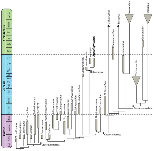 Time calibrated phylogenetic tree of the analysis performed in this contribution.