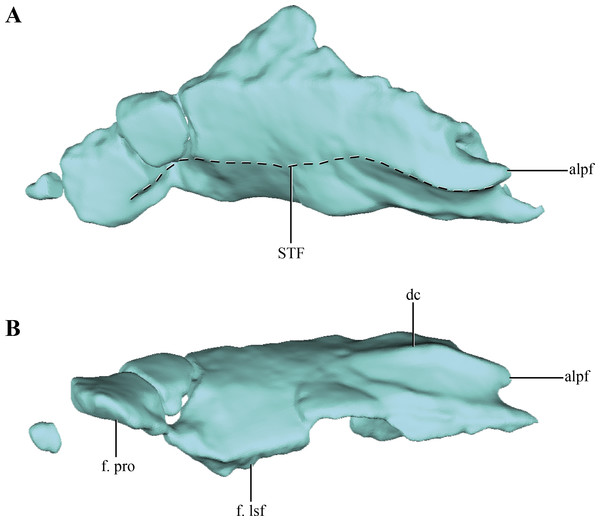 Digital reconstructions of the parietal of Macelognahus.