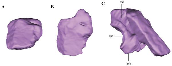 Digital reconstructions of the supraoccipital of Macelognathus.