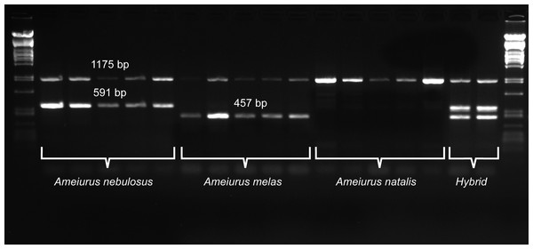 Duplex PCR-based molecular identification of three bullhead species: Ameiurus nebulosus, Ameiurus melas, and Ameiurus natalis.