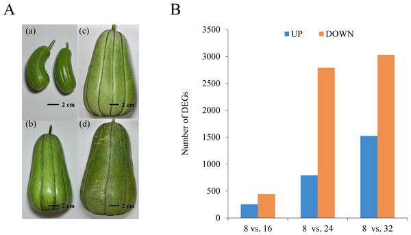 Growth and development of oriental melon fruits.
