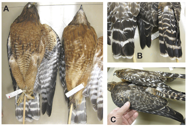 Comparison of adult Eastern Red-shouldered Hawk (r) with WFB 4816 (l).