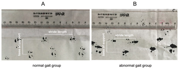 Representative stride length and base of support measurement using forelimb paw prints in the mice of normal gait group and abnormal gait group.