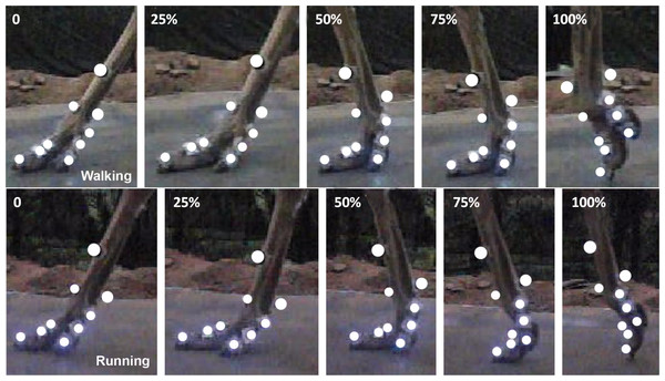 Two representative high speed video traces of toe motions during slow walking and running in stance phases.