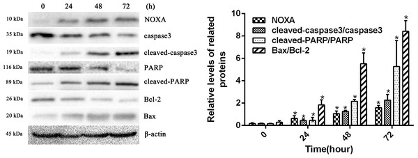 HCPT up-regulated NOXA expression.