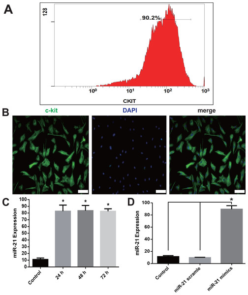 c-kit+ CSCs isolation and overexpression of miR-21in CSCs.