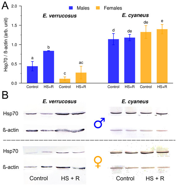 Relative levels of Hsp70 in male and female E. verrucosus and E. cyaneus exposed to the heat shock temperatures (species-specific LT50) for 1 h and the subsequent recovery (at 6°C) for 3 h (HS + R), n = 5.