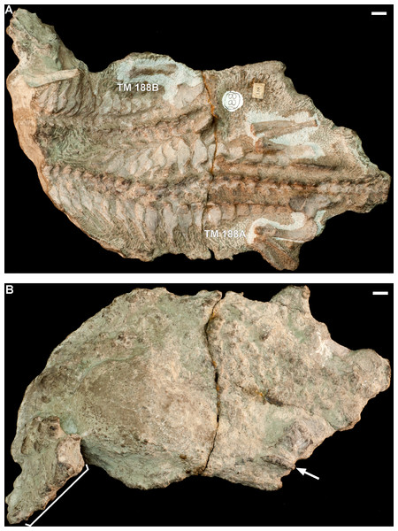 Block TM 188 consists of two adult skeletons of Thrinaxodon without skulls: TM 188A, larger adult; TM 188B, smaller adult.