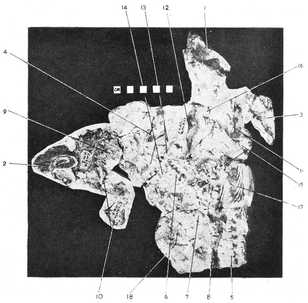 Brink's (1965: Fig. 45) original figure of blocks BP/1/2513 and BP/1/472 (reproduced with permission from Palaeontologia Africana).
