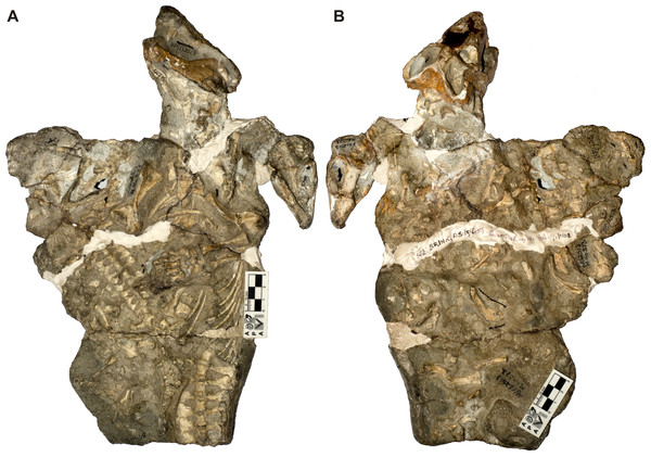 Galesaurus planiceps material in block BP/1/2513 in (A) ventral and (B) dorsal views.