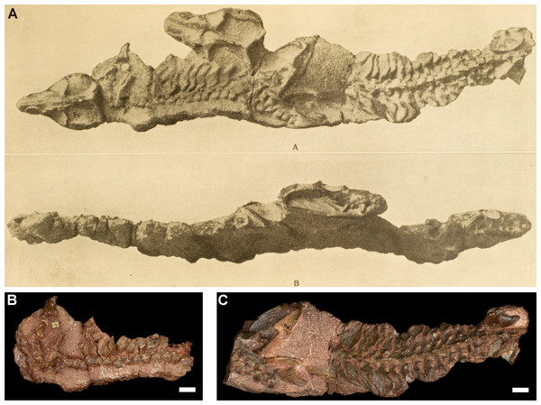 Thrinaxodon liorhinus specimens TM 80A (subadult) and TM 80B (adult).