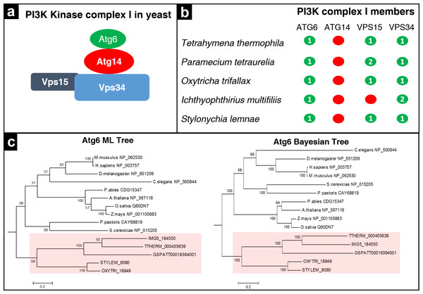 Analysis of PI3K complex members in ciliates.