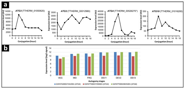 mRNA expression analysis of ATG genes upregulated during Tetrahymena conjugation and Paramecium autogamy.