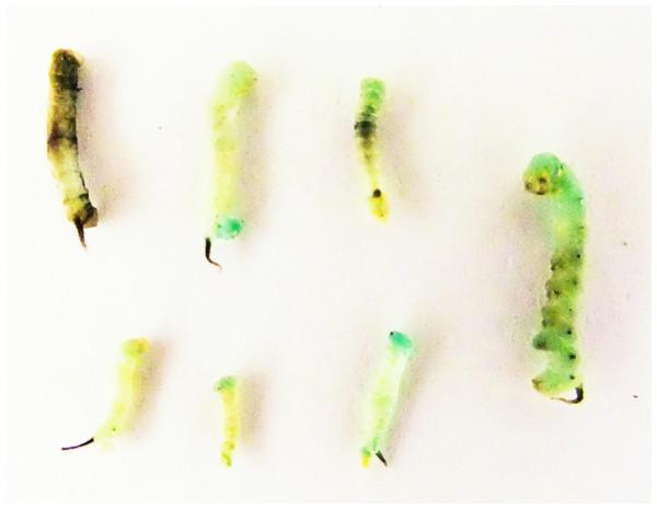 Dead larvae following feeding with 1,000 µM of fluvastatin as 1st instars.