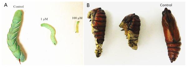 Developmental arrest and growth retardation in M. sexta following fluvastatin treatment.