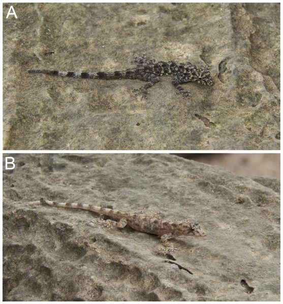 Coloration of Cnemaspis thachanaensis sp. nov.