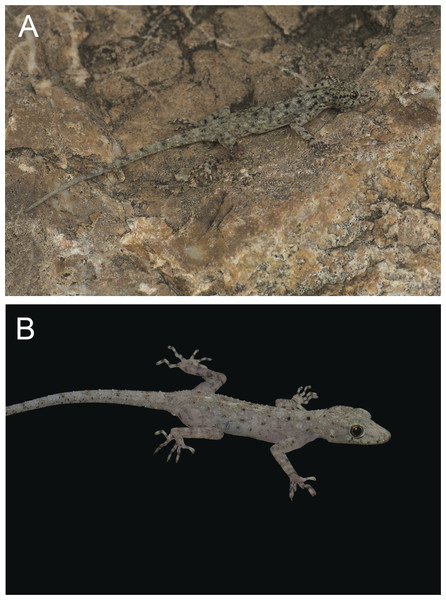 Three new species of rock geckos from the Thai-Malay Peninsula