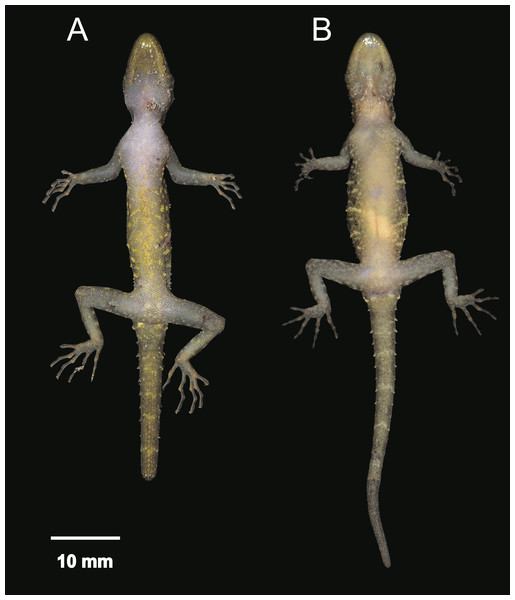 Ventral coloration and sexual dichromatism of Cnemaspis phangngaensis sp. nov.
