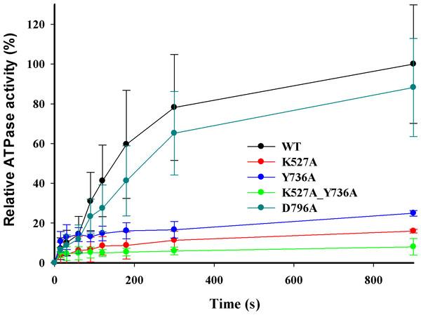 DNA-dependent ATPase activity.