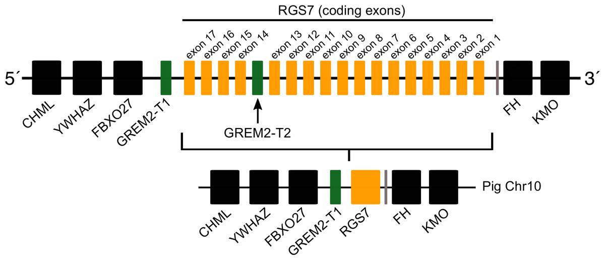 Evolution of gremlin 2 in cetartiodactyl mammals: gene loss