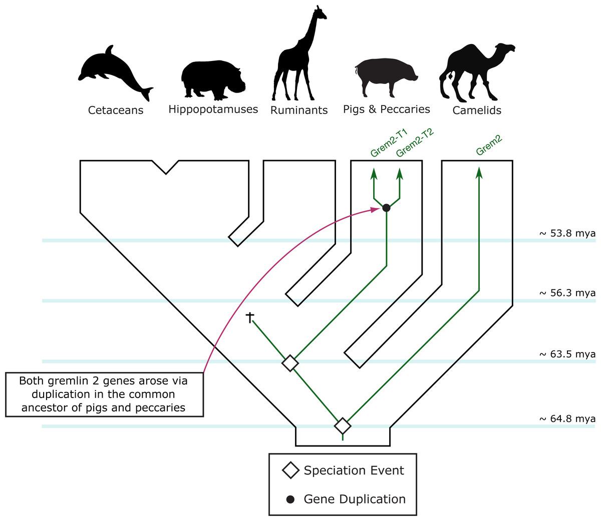 An evolutionary hypothesis regarding the evolution of the gremlin 2 gene in  cetartiodactyl mammals.