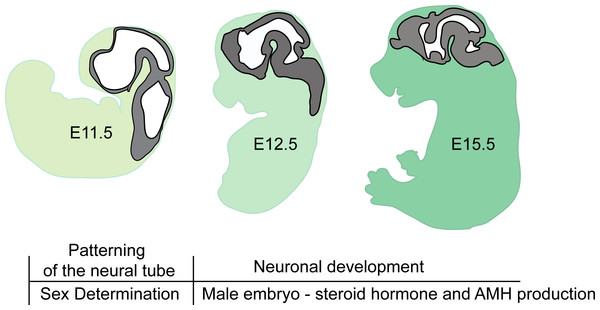 Brain developmental stages used in this study.
