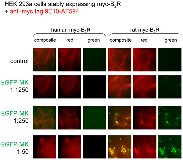 Staining of HEK 293a cells stably expressing a myc-B2R construction by EGFP-MK as a function of the mammalian species origin of the receptor sequence.