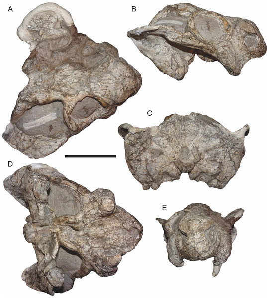CGP/1/2263, referred specimen of Bulbasaurus phylloxyron gen. et sp. nov., in (A) dorsal, (B) right lateral, (C) occipital, (D) ventral, and (E) anterior views.