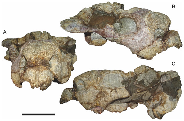 SAM-PK-K11235, holotype of Bulbasaurus phylloxyron gen. et sp. nov., in (A) anterior, (B) right semi-lateral, and (C) left lateral views.