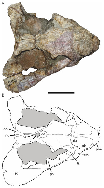 SAM-PK-K11235, holotype of Bulbasaurus phylloxyron gen. et sp. nov., in dorsal view.