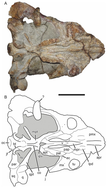 SAM-PK-K11235, holotype of Bulbasaurus phylloxyron gen. et sp. nov., in ventral view.