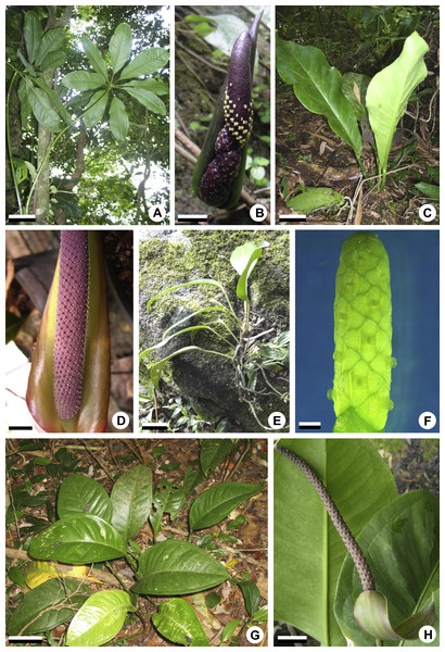 General aspects of habit and inflorescences of some representatives of Anthurium.