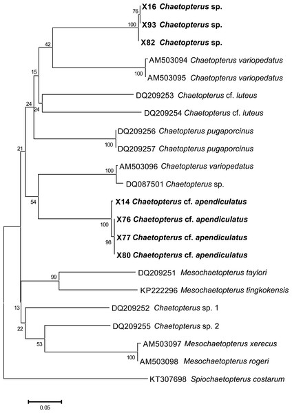Preliminary phylogenetic tree for species of Chaetopterus and Mesochaetopterus based on the COI sequences obtained from NCBI GenBank and our data.