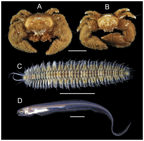 Symbiotic species associated with Chaetopterus cf. appendiculatus: (A, B) Eulenaios cometes (female and male, respectively); (C) Ophthalmonoe pettibonneae; (D) Onuxodon fowleri.
