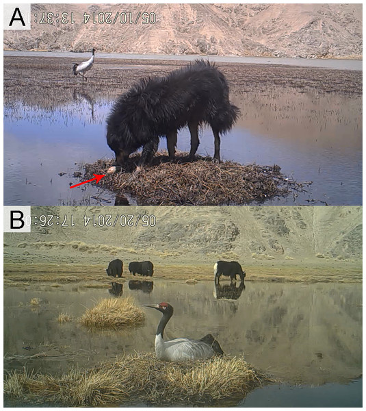Different disturbance levels to Black-necked Crane nests.