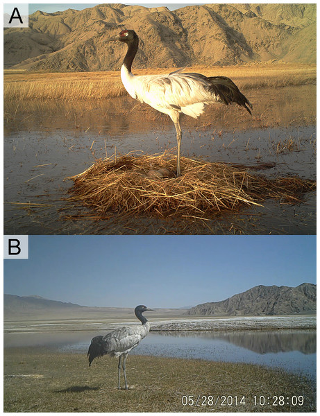 Nest types of Black-necked Cranes in Yanchiwan National Nature Reserve, Gansu, China.
