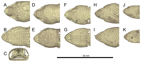 Micro-CT images of mineralized scales of Geckolepis specimens.