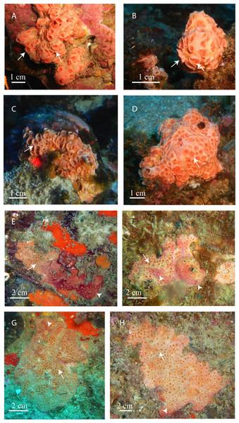 In situ pictures of Atlanto-Mediterranean Hemimycale spp.