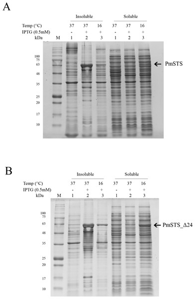 Expression analysis of (A) recombinant PmSTS and (B) truncated recombinant PmSTS_Δ24 from E. coli BL21 (DE3).