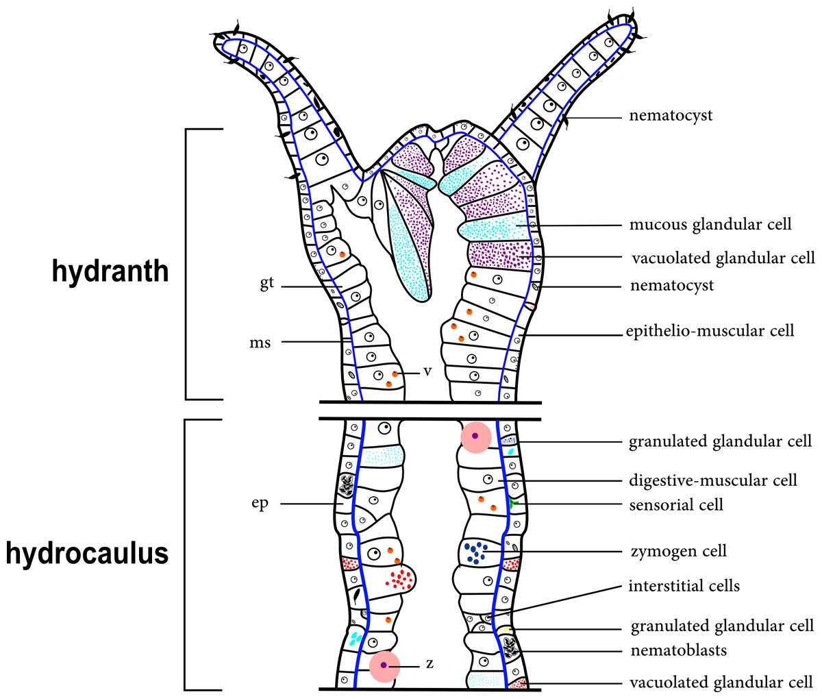 Exoskeletons Of Bougainvilliidae And Other Hydroidolina