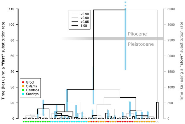 Molecular dating of Nymania capensis cpDNA sequences using majority rule Bayesian chronogram generated in Beast.