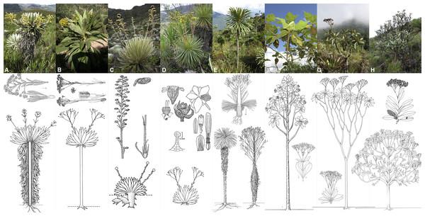 Morphological diversity in the genera of Espeletiinae.